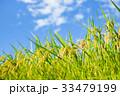 稲 田んぼ 夏の写真 33479199