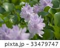 布袋葵 ホテイアオイ ウオーターヒアシンスの写真 33479747