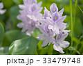 布袋葵 ホテイアオイ ウオーターヒアシンスの写真 33479748