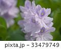 布袋葵 33479749