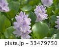 布袋葵 33479750