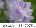 布袋葵 ホテイアオイ ウオーターヒアシンスの写真 33479751