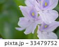 布袋葵 ホテイアオイ ウオーターヒアシンスの写真 33479752