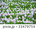 布袋葵 ホテイアオイ ウオーターヒアシンスの写真 33479754