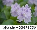 布袋葵 ホテイアオイ ウオーターヒアシンスの写真 33479759