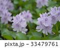 布袋葵 33479761