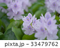 布袋葵 33479762
