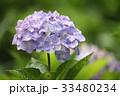 アジサイ 紫陽花 花の写真 33480234