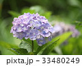 アジサイ 紫 花の写真 33480249