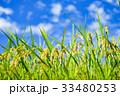 稲 田んぼ 夏の写真 33480253