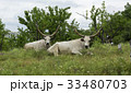 Two white oxen with long horns lie on a meadow 33480703