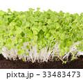 ミズナ 京菜 水菜の写真 33483473