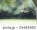 ジョロウグモ クモ 獲物の写真 33483985