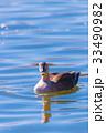 Spotbill duck, in Tachikawa,Tokyo,Japan 33490982