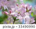 Royal Azalea Flowers,in Tachikawa,Tokyo,Japan 33490990