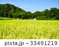 稲 田んぼ 夏の写真 33491219