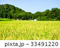 稲 田んぼ 夏の写真 33491220