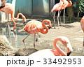 フラミンゴ 鳥 動物園の写真 33492953