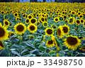 向日葵畑 33498750