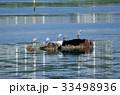 谷津干潟と野鳥観察 33498936