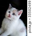 子猫 ラグドール 猫の写真 33502499