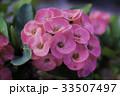 猩々草 お花 フラワーの写真 33507497