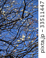 植物 花 梅の写真 33511447
