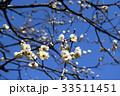 植物 花 梅の写真 33511451