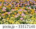 花 花壇 チューリップの写真 33517140