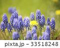 たんぽぽ ムスカリ 花の写真 33518248