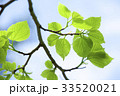 新緑 葉 葉っぱの写真 33520021