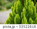 コノテガシワ 33522616