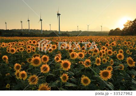夕日に輝く郡山布引高原のひまわり畑 33527962