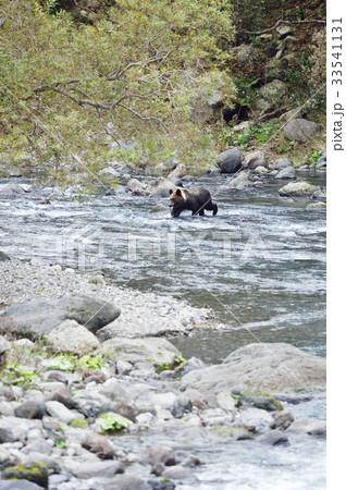 川を渡るヒグマ 33541131