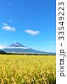 秋の青空と田んぼの稲 そして富士山 33549223