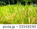 稲 田んぼ 夏の写真 33549290