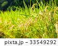 稲 田んぼ 夏の写真 33549292