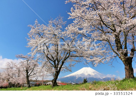 富士山と満開の桜並木 33551524