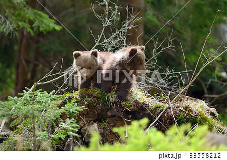 Brown bear cub 33558212