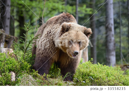 Big brown bear in the forest 33558235