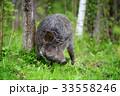 イノシシ 猪 動物の写真 33558246