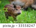 イノシシ 猪 動物の写真 33558247