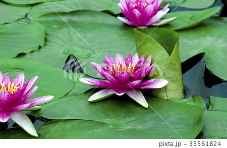 Beautiful lotus flower 33561824