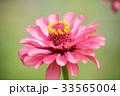 ジニア 百日草 花の写真 33565004