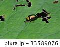 キクビアオハムシ 甲虫 昆虫の写真 33589076