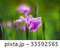 花菖蒲アップ 33592565