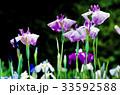 花菖蒲アップ 33592588