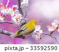 メジロと梅の花 33592590