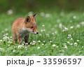 キタキツネ 子ギツネ 動物の写真 33596597