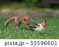 キタキツネ 子ギツネ 狐の写真 33596601